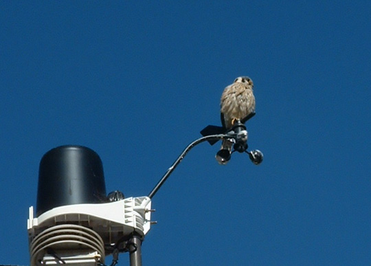 Kestrel on Weather vane
