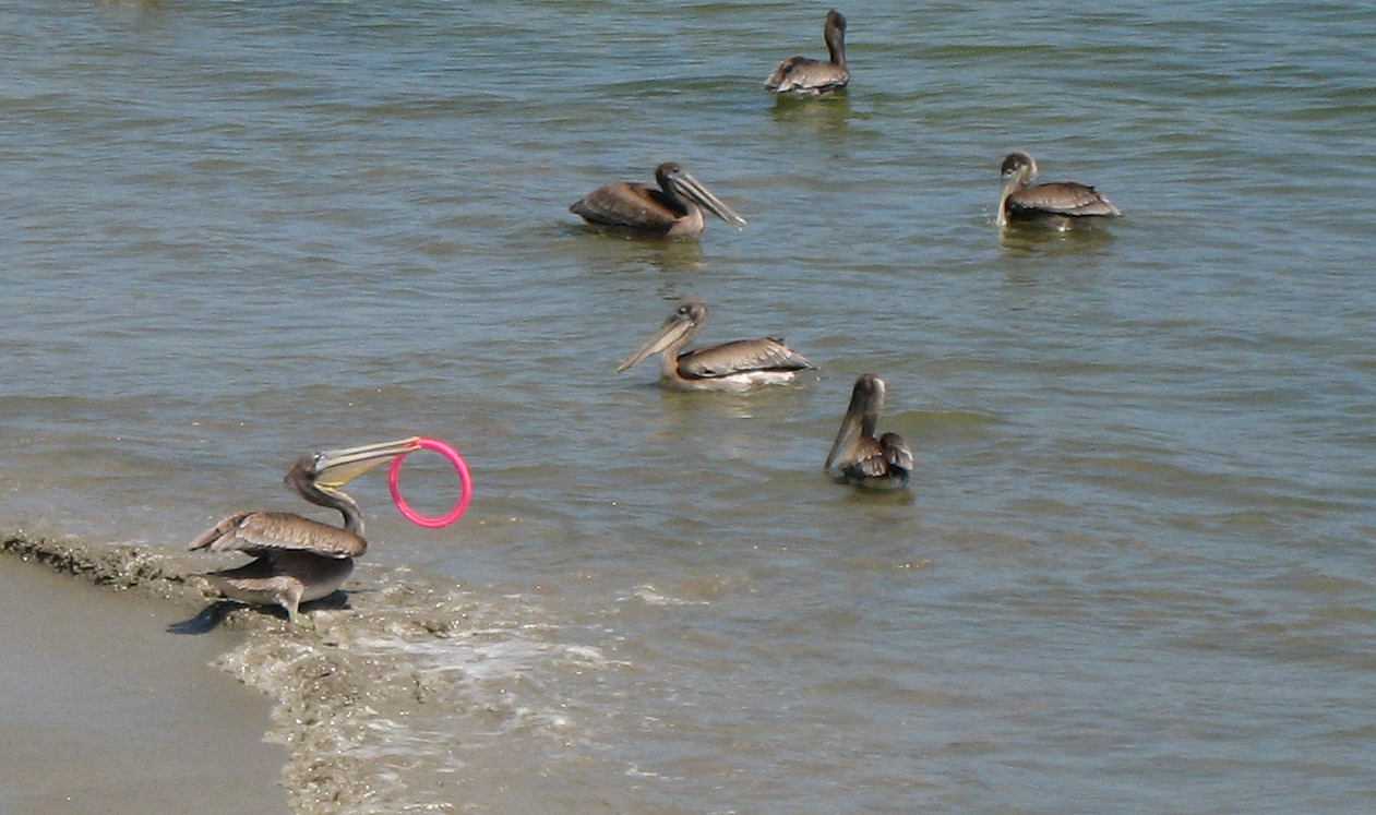 Pelicans at Avila Beach